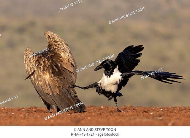 Pied crow, Corvus albus, harassing white backed vulture, Gyps africanus, Zimanga game reserve, KwaZulu-Natal, South Africa