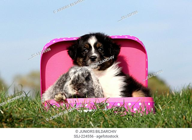 Australian Shepherd and Dwarf Rabbit. Puppy and Mini Lop sitting in a small suitcase on a meadow. Germany