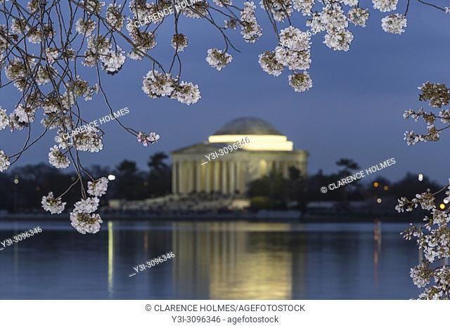 Yoshino cherry tree blossoms frame the Jefferson Memorial on the Tidal Basin at twilight in Washington, DC
