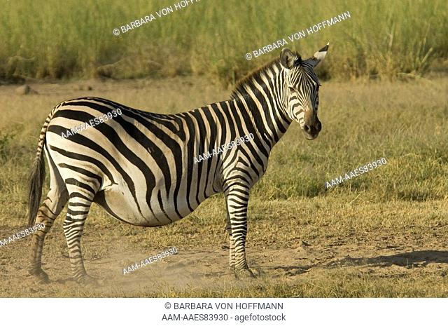 Very pregnant Burchell's Zebra standing in plains, Amboseli National Park, Kenya