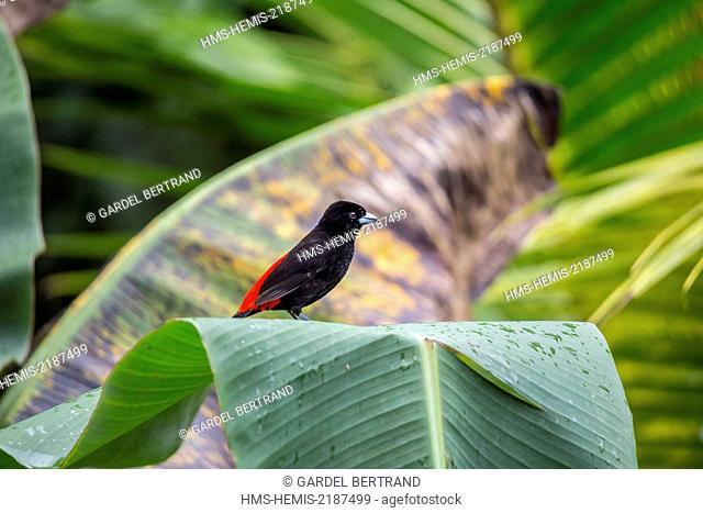 Costa Rica, Alajuela province, Arenal, Passerini's Tanager (Ramphocelus passerinii)