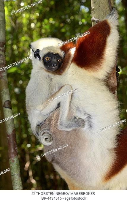 Coquerel's sifaka (Propithecus coquerelli), female with young, dry forest, Ankarafantsika National Park, Madagascar