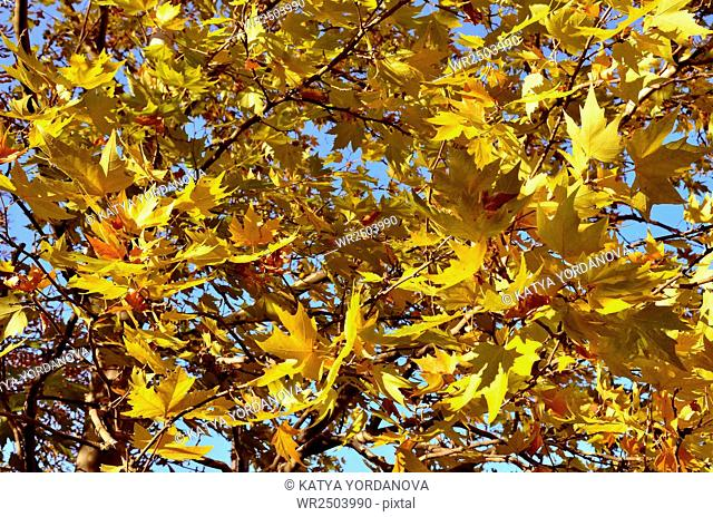 Yellow fallen autumn leaves