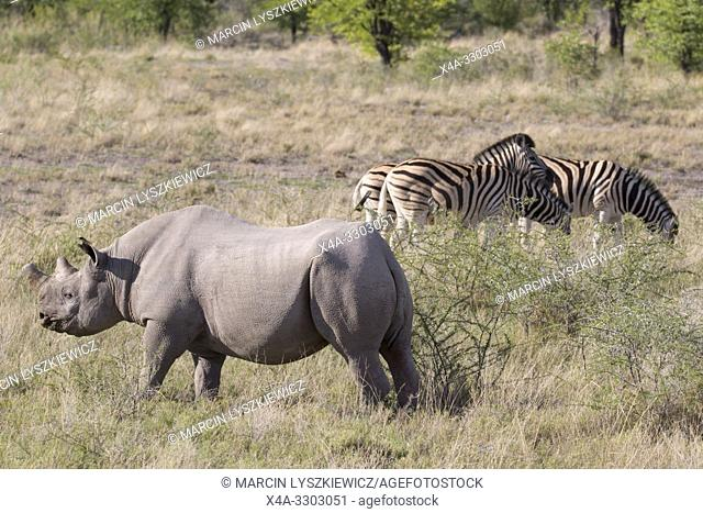 An adult male of black rhinoceros (Diceros bicornis) and a group of plains zebras (Equus quagga, formerly Equus burchellii), Etosha National Park, Namibia