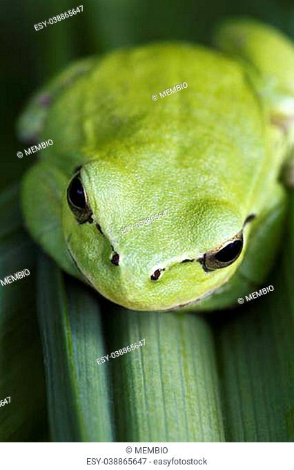 Close up view of a Mediterranean Tree Frog (Hyla meridionalis) on a leaf
