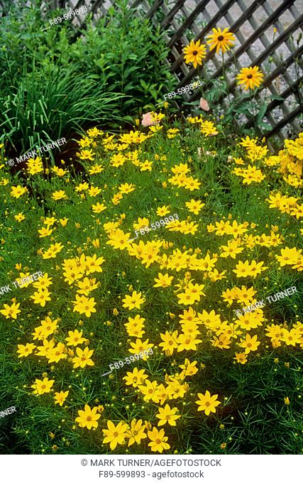 'Golden Showers' Coreopsis & Gloriosa Daisies in border by lattice fence (Coreopsis grandiflora 'Golden Showers'; Rudbeckia hirta)