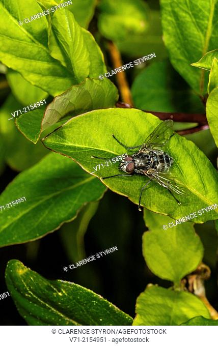 Flesh Fly ( Sarcophaga sp.)