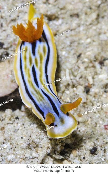 sea slug or nudibranch, Chromodoris colemani, Puerto Galera, Oriental Mindoro, Philippines, Pacific