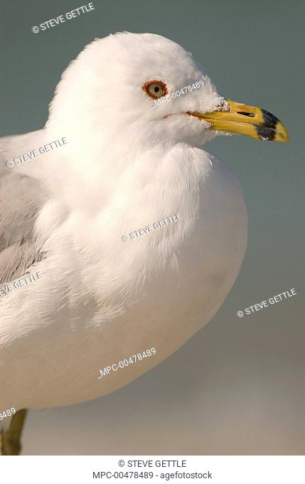 Ring-billed Gull (Larus delawarensis), Fort Desoto Park, Florida
