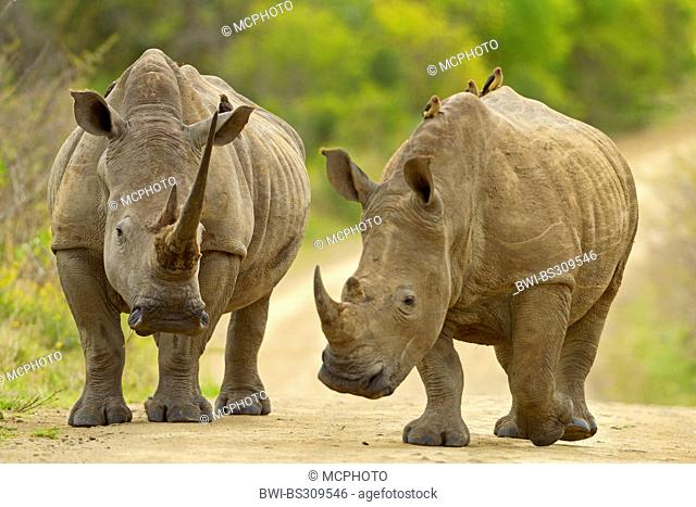 white rhinoceros, square-lipped rhinoceros, grass rhinoceros (Ceratotherium simum), two rhinoceroses walking on a road, South Africa