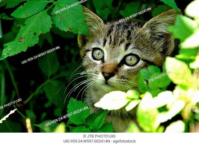 Japan, Tohoku Region, Miyagi Prefecture, Ishinomaki-shi, Cat hiding in tree