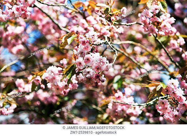 Prunus cherry blossom