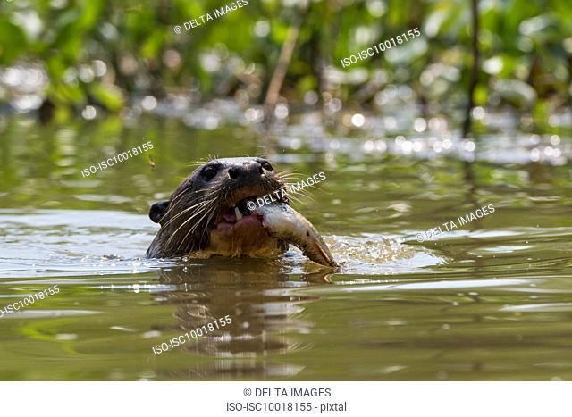 Giant otter (Pteronura brasiliensis) eating fish in river, Pantanal, Mato Grosso, Brazil