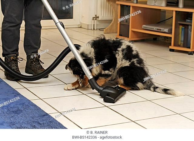 Australian Shepherd (Canis lupus f. familiaris), 13 week old whelp with woman hoovering the floor in the living room