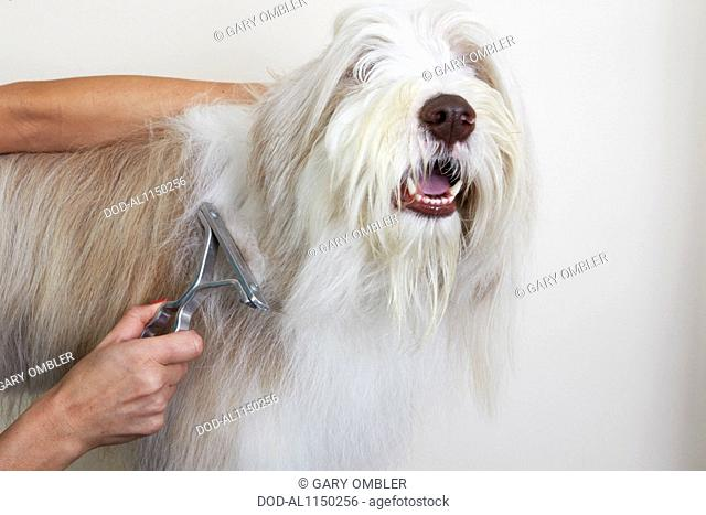 Bearded Collie, de-matting comb through coat in grooming parlour