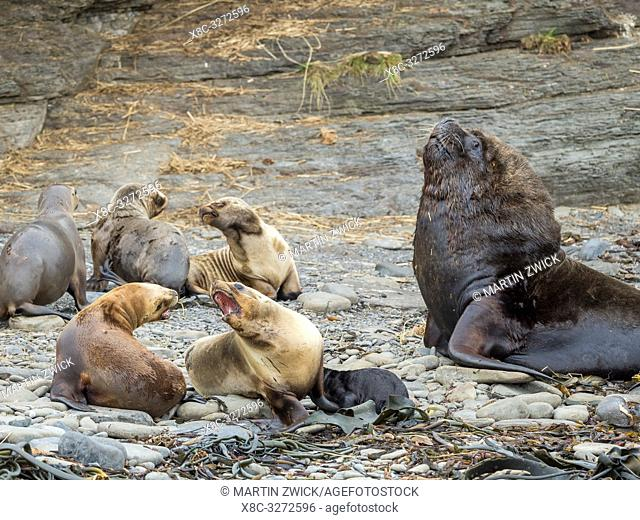 Dominant bull and harem. South American sea lion (Otaria flavescens, formerly Otaria byronia), also called the Southern Sea Lion or Patagonian sea lion