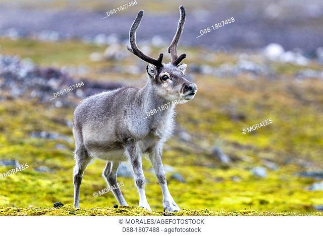 Norway , Spitzbergern , Svalbard , Ny-Alesund , Reindeer Rangifer tarandus  , female , grazing in the tundra
