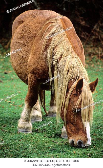 Horse at Selva de Irati, Navarra, Pyrenees, Spain