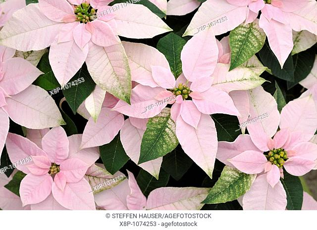 Christmas star Euphorbia pulcherrima 'Princettia Pink'