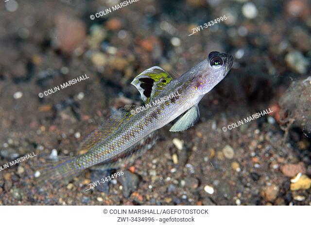 Dorsalspot Shrimpgoby (Vanderhorstia dorsomacula, Gobioidei Family), Melasti dive site, Seraya, Kubu district, Karangasem, Bali, Indonesia, Indian Ocean