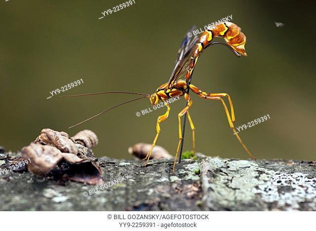 Female Giant Ichneumon Wasp (Megarhyssa macrurus) - Pisgah National Forest - Brevard, North Carolina USA