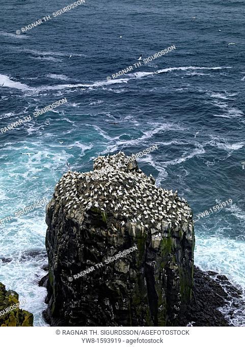 Northern Gannets on Skoruvikurbjarg cliff, Langanes Peninsula, North East, Iceland