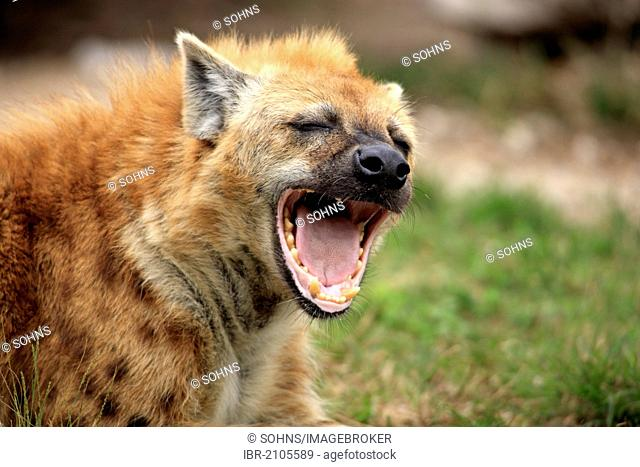 Spotted Hyena or Laughing Hyena (Crocuta crocuta), adult, yawning, Kruger National Park, South Africa, Africa