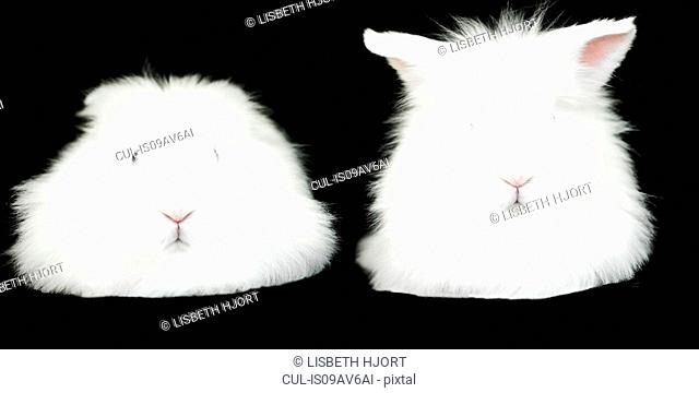 Portrait of two white fluffy rabbits on black background