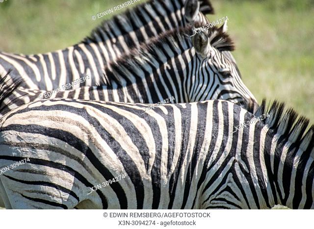 A close up shot of a group of zebra standing in a line in Hwange National Park. Hwange, Zimbabwe