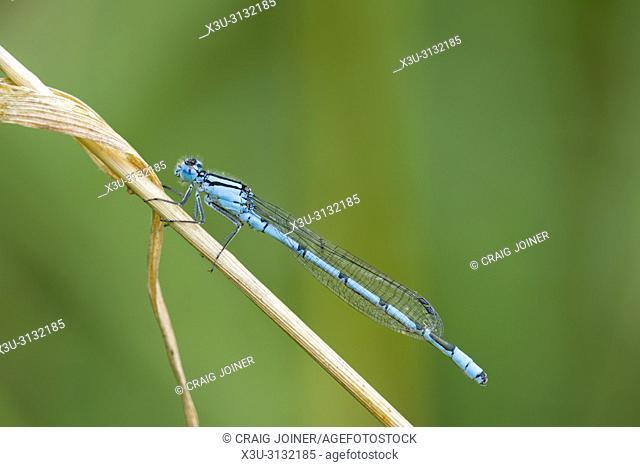Common Blue Damselfly (Enallagma cyathigerum) male