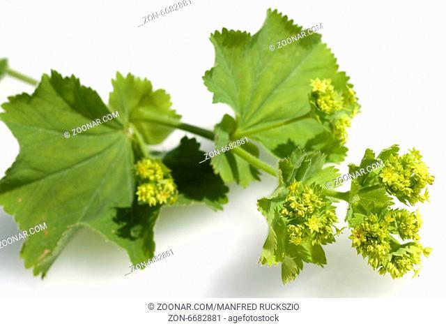 Frauenmantel, Alchemilla mollis, Heilpflanzen