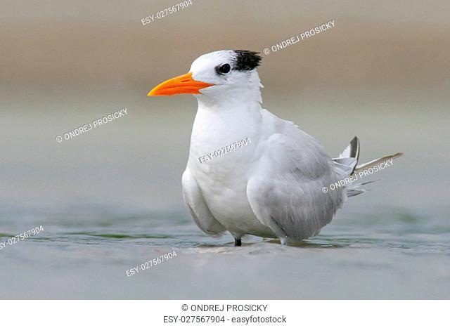 Tern in the water. Royal Tern