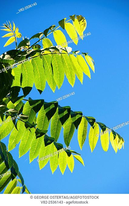 Walnut leaves, Willamette Mission State Park, Oregon