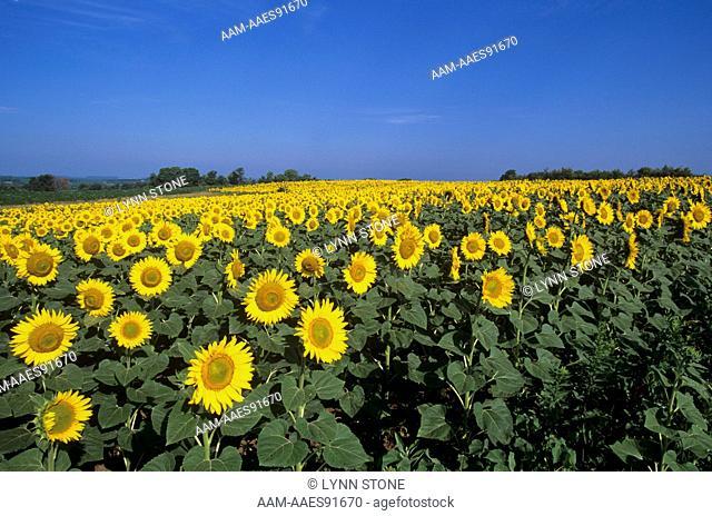 Field of Sunflowers, Illinois