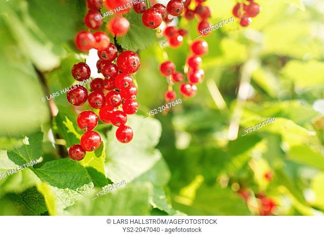 Fresh and ripe red currants hanging on bush in garden