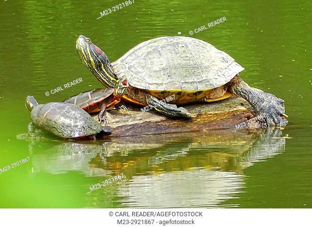 A family of red-eared slider turtles, Trachemys scripta elegans, occupy a log, Pennsylvania, USA