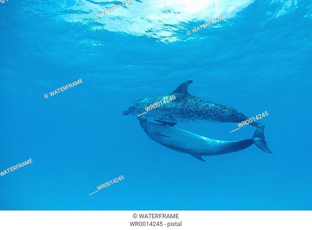 Spotted Dolphins, Stenella frontalis, Atlantic, Caribbean Sea, Bahamas