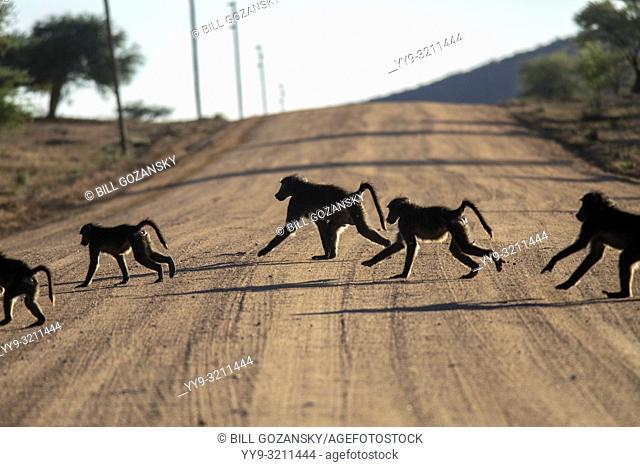 Chacma Baboons or Cape Baboons (Papio ursinus) - Okonjima Nature Reserve, Namibia, Africa