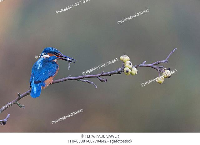 Common Kingfisher (Alcedo atthis) adult male, perched on crab apple branch, with Three-spined Stickleback (Gasterosteus aculeatus) prey in beak, Suffolk