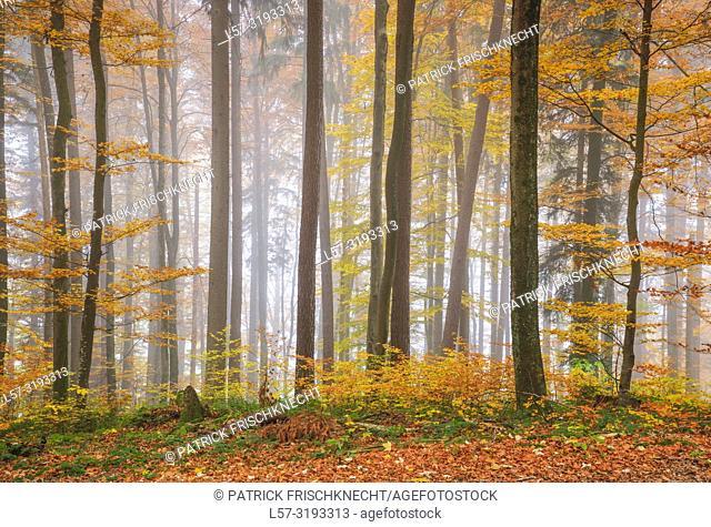forest in fog, Switzerland
