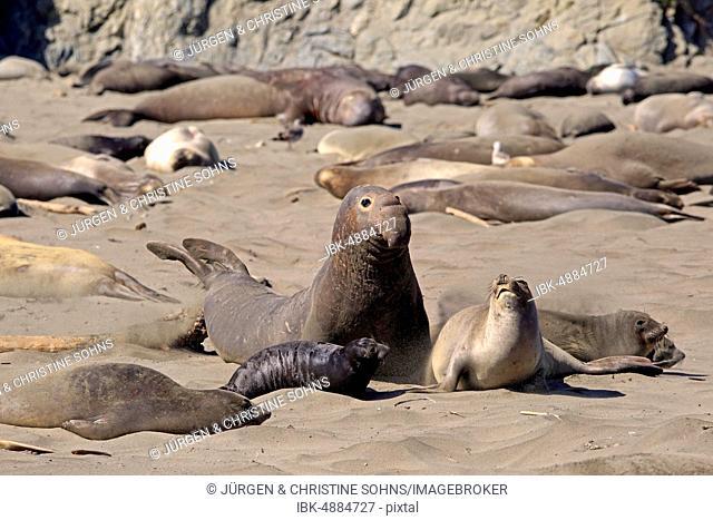 Northern Elephant Seals (Mirounga angustirostris), adult pair with young animal on the beach, elephant colony, Piedras Blancas Rookery, San Simeon