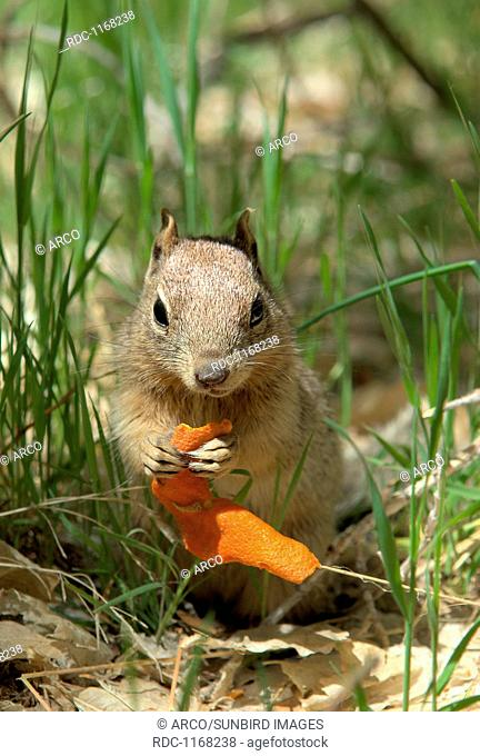 Californian Ground Squirrel with orange peel in Zion NP