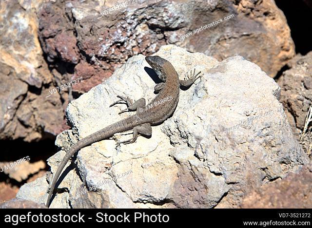 Western Canaries lizard (Gallotia galloti) is a giant lizard endemic to Tenerife and La Palma Islands. This specimen belongs to subspecies Gallotia galloti...
