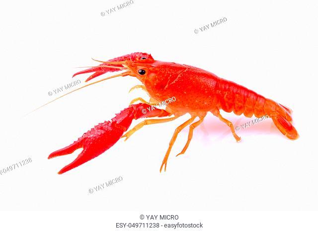 Red crawfish on white background