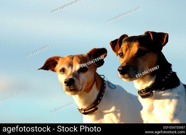 Zwei fotogene Jack-Russel-Terrier Rüden im Portrait vor blauem Himmel