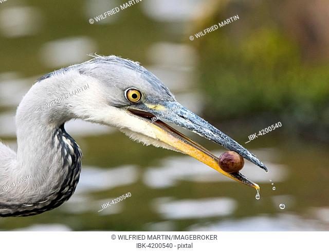Young Grey Heron (Ardea cinerea) with a fruit, Hesse, Germany