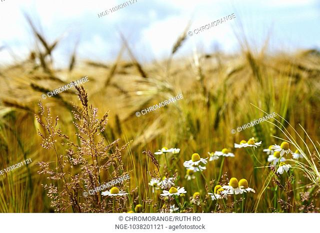 wild daisies and grasses in front of a cereal box