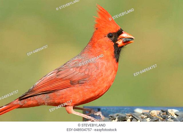 Male Northern Cardinal (cardinalis cardinalis) on a feeder with a green background