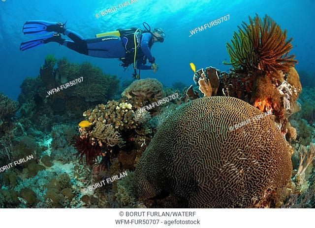 Diver over Brain coral, Platygyra lamellina, Alor, Lesser Sunda Islands, Indo-Pacific, Indonesia