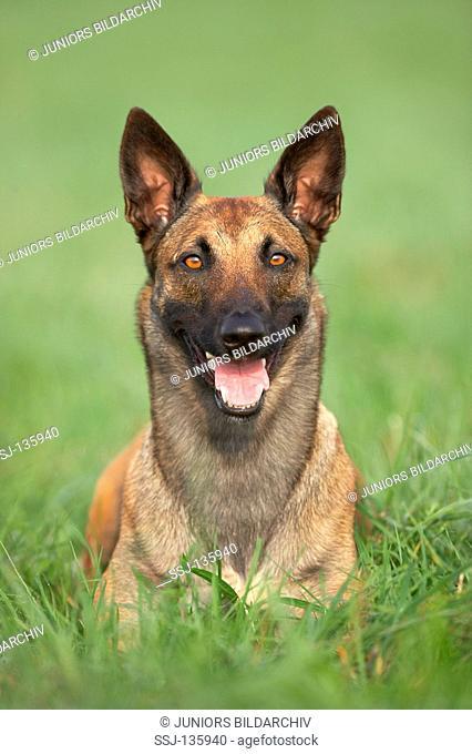 Belgian Shepherd Dog - lying on meadow restrictions: Tierratgeber-Bücher / animal guidebooks
